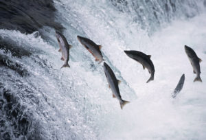 Salmon jumping. Photo credit to history.com.