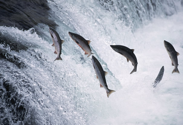 Potential harm to salmon population