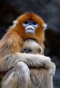 Two golden snub-nosed monkeys in captivity outside of Xi'an, China.