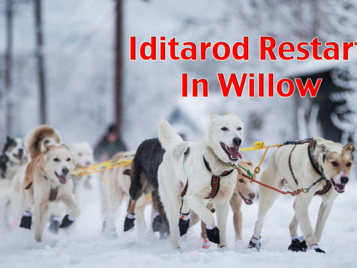 Iditarod Restart in Willow